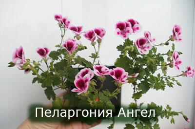 Pelargoniya_Angel