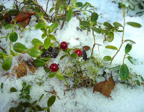 Картинки растений зимой в лесу