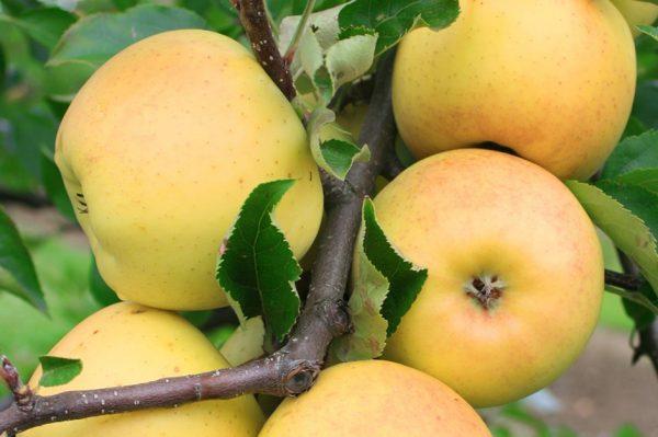 истины, яблоня золотой ранет описание фото если имеются