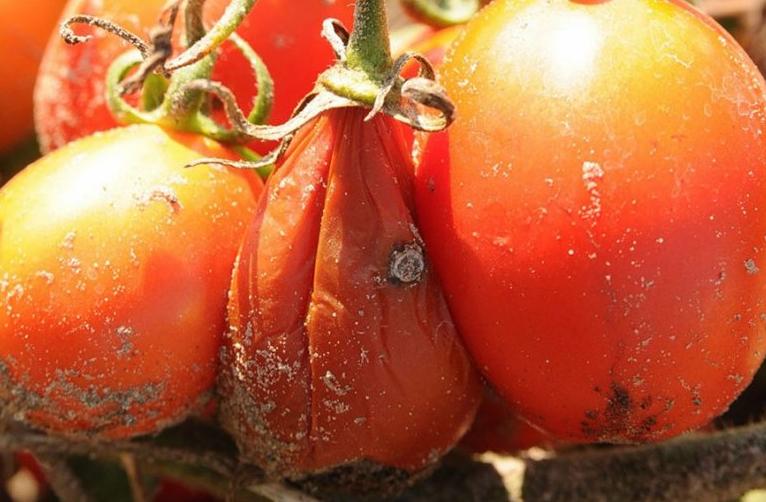 Мокрая гниль томата