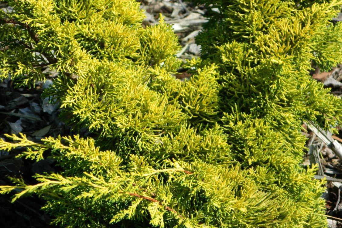 Можжевельник Plumosa Aurea