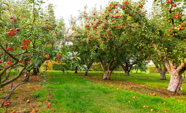 что посадить рядом с яблоней