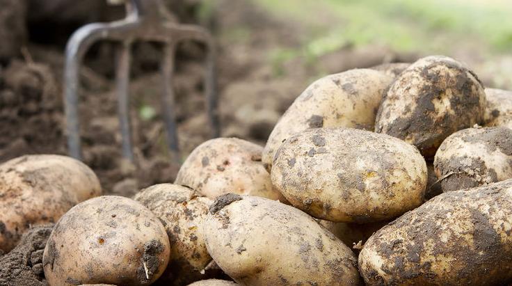 сорта картофеля фото и описание