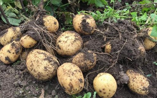 сорта картофеля по алфавиту