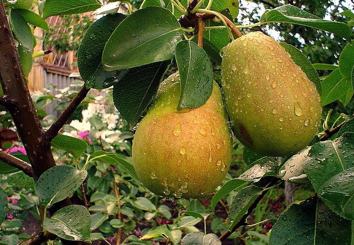 соседство плодовых деревьев друг с другом