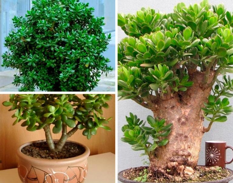 как отводкой посадить денежное дерево